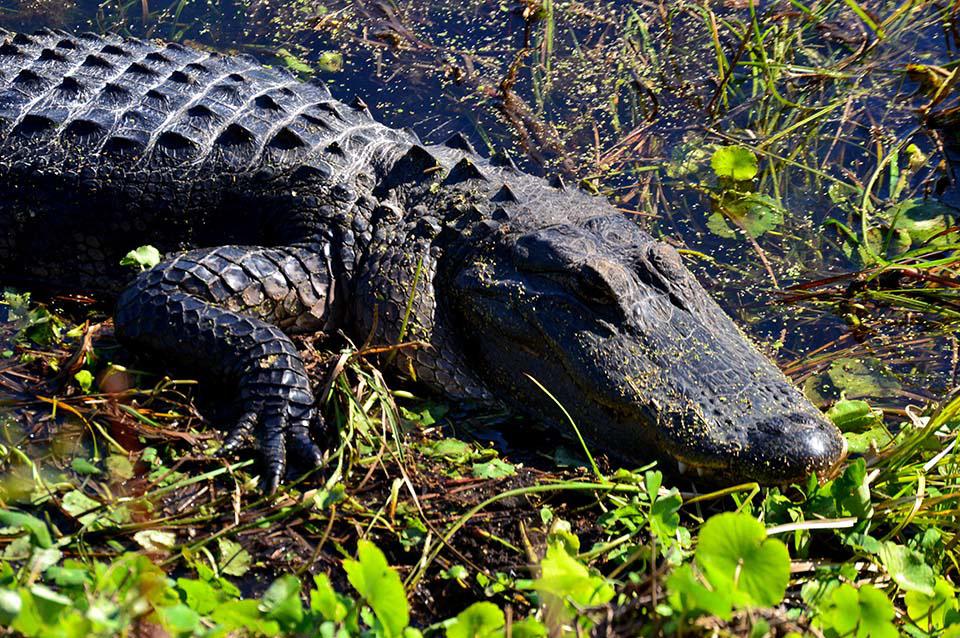 Alligator and Paynes Prairie Preserve North