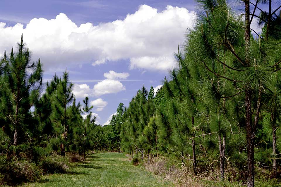 Young Pine Trees at Orange Creek Conservation Area