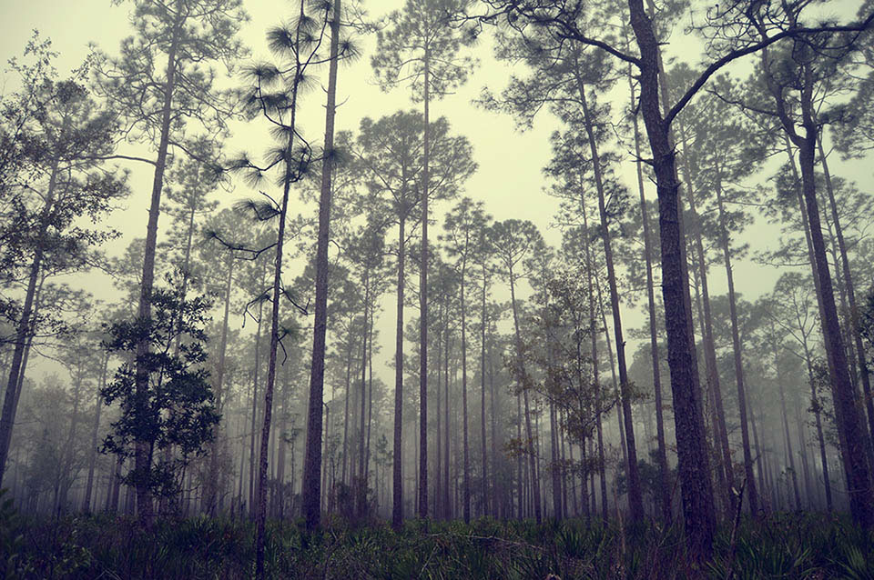 Pines at Longleaf Flatwoods Reserve
