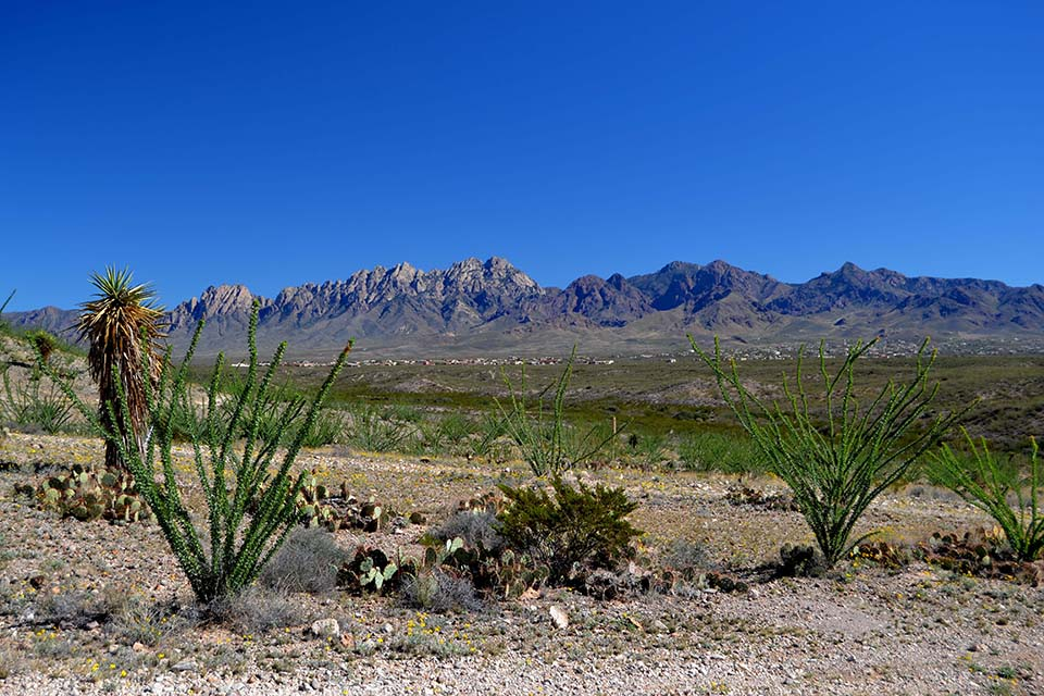 Ocotillo with Organ Mountains in Background