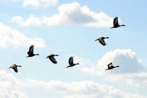 Black Bellied Whistling Ducks in Flight