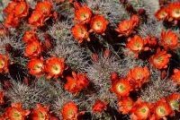 Cactus with orange flowers: Hedgehog cactus, Echinocereus triglochidiatus, in bloom