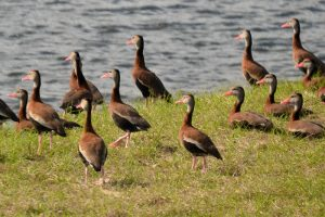 Black Bellied Whistling Ducks gather by the hundreds at Sweetwater Wetlands Park