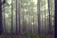 Tall pines in morning fog