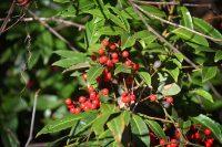Ilex verticulata - Winterberry - red berry bush in Florida winter