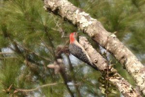 Red-bellied woodpecker finding food with longleaf pine in the background