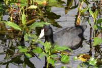 American Coot or Mud Hen, out for a swim in the pond