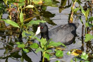 American Coot or Mud Hen, out for a swim in the pond in Florida