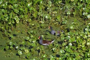 Common Moorhen - Gallinula chloropus - has a yellow tipped beak, orange to between the eyes, with a gray body and brown feathers on the wings