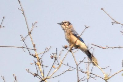 The restoration area provides home for this endangered Florida Scrub Jay - Aphelocoma coerulescens