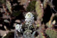 Pod of white little white desert flowers on the spectacle pod, Dimorphocarpa wislizeni