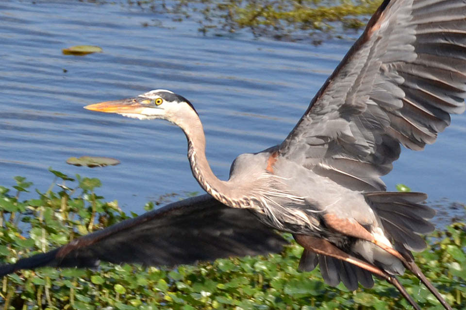 Great Blue Heron Taking Flight at Sweetwater Wetlands Park