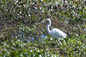 Great Egret - note dark legs, while immature great blue heron which is white has light colored legs