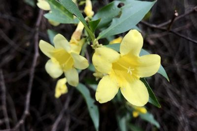 Yellow Carolina Jasmine Blossoms - five pedaled yellow climbing wildflower in Florida