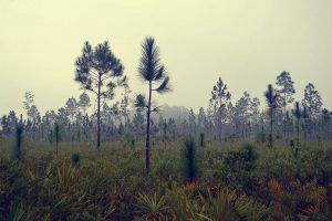 Young Longleaf Pines in a more open area amid palmetto