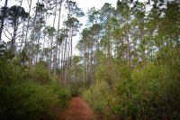 Long Leaf Pines at Chacala Trail, Paynes Prairie