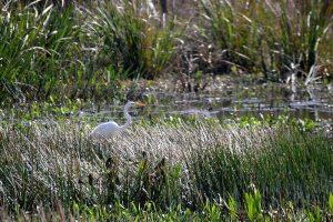 Great Egret at Sweetwater Wetlands Park, Florida