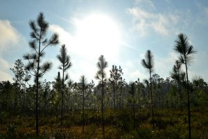 Sunlight breaks through, quickly evaporating the fog and leaving glistening dew on the pines