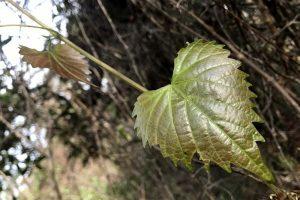 Wild Grape Leaves - Muscadine Grape