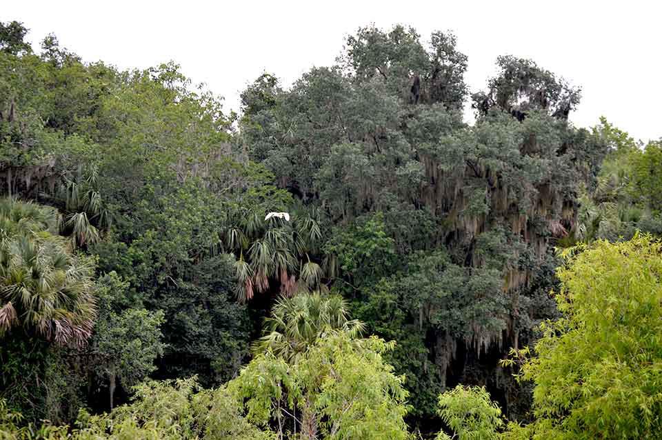 Barr Hammock Preserve with Great Egret in Flight