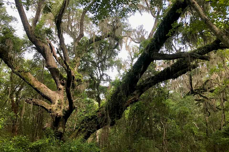 Live Oak at Bivens Arm Nature Park