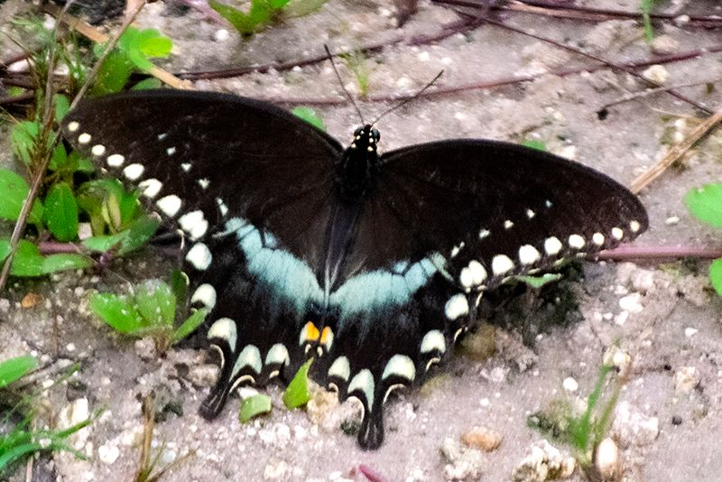 Eastern Black Swallowtail - black and blue butterfly with white spots