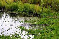 Alligator at Levy Loop Trail, Barr Hammock Preserve