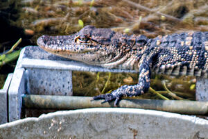 Young Alligator at Barr Hammock Preserve