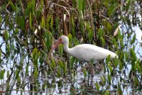 White Ibis in Nature