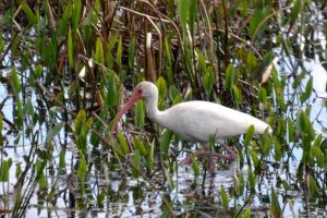 White Ibis in Nature at Sweetwater Wetlands Park, Florida