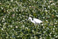 Immature Little Blue Heron - note lighter legs than egret