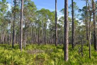 Longleaf Flatwoods Reserve in Summer