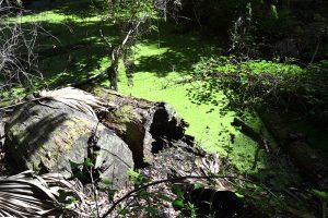 Sawgrass Pond at Paynes Prairie