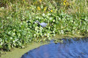 Mature Little Blue Heron