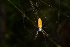 Golden Orb Weaver, the bane of hikers