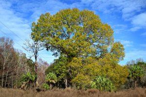 Laurel Oak in Winter