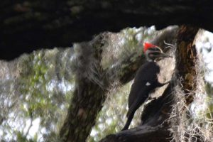 Pileated woodpecker recognizable for its size, large red crown, and black and white coloring