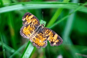 Pearl Crescent - tiny butterfly, orange and black in Florida