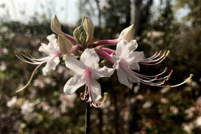 Wild azalea - pinxter azalea, Rhododendrum canescens - blooms in March with 5 white petals and elongated, pink pistils