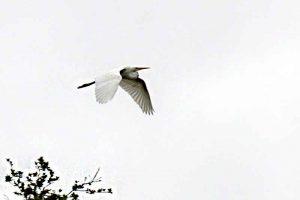 Great Egret in flight at Barr Hammock Preserve