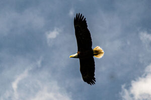 Bald Eagle at Newnan's Lake Conservation Area