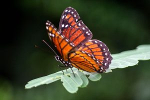 Monarch Butterfly - large orange and black butterfly with white spots in Florida