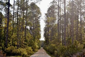 A straight shot east through the pines at Belmore State Forest, Satsuma Tract