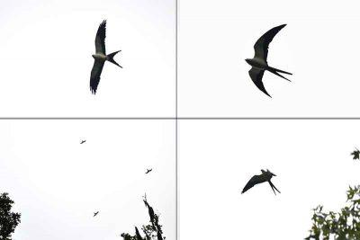 Swallow-Tailed Kites in flight