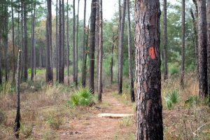 Trail through pines in central Florida