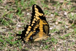 Eastern Tiger Swallowtail male is a large Florida butterfly, yellow and black wings with a few blue spots