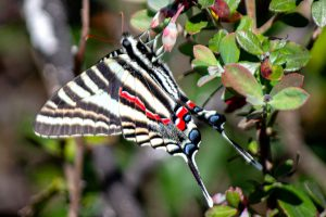 Zebra Swallowtail - Protographium marcellus