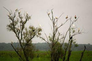 Egrets, Ibis, and Blackbird in Tree