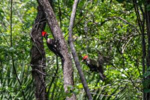 Pileated Woodpeckers at Ocklawaha Prairie Restoration Area