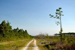 Rail tail in the open sun at Belmore State Forest in Clay County, Florida